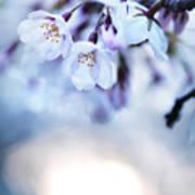 Cherry Tree Blossoms In Morning Sunlight Art Print