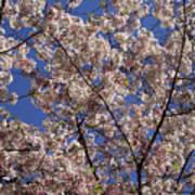 Cherry Tree In Bloom Art Print