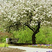Cherry Tree In Full Bloom Art Print