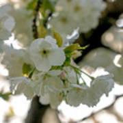 Cherryblossom Flowers 4 Art Print