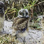 Chick Burrowing Owl  Art Print
