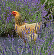 Chicken In The Lavender Art Print