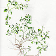 Chickweed Herb Art Print