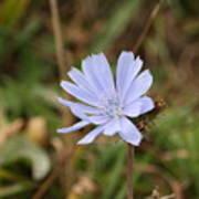 Chicory Blue Art Print