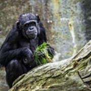 Chimpanzee Foraging Art Print