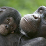 Chimpanzee Mother And Infant Art Print