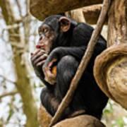 Chimpanzee, Nc Zoo Art Print