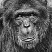 Chimpanzee Portrait 1 Art Print by Richard Matthews