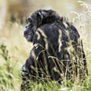 Chimpanzee Sitting In The Grass Art Print