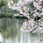 Chinese Cherry Blossoms  Art Print