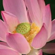 Chinese Lily Art Print