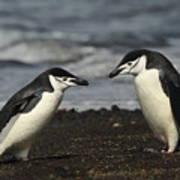 Chinstrap Penguin Duo Art Print