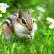 Chipmunk Saving Seeds Art Print