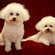 Chloe And Jolie The Bichon Frises Print by Michael Ledray