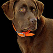 Chocolate Lab Art Print by William Jobes