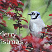 Christmas And Blue Jay Art Print