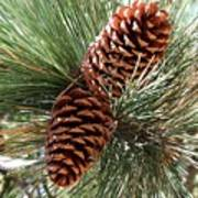 Christmas Pine Cones Art Print