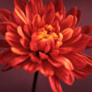 Chrysanthemum 7 Art Print