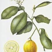 Citrus Bergamot Art Print by Margaret Ann Eden