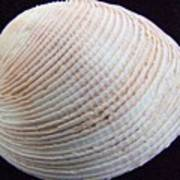 Clam Shell Art Print