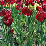 Claret Tulips  Art Print