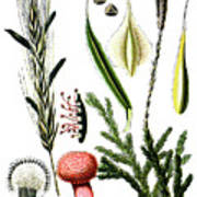 Claviceps Purpures. Recht Wolf's-foot Clubmoss, Stag's- Art Print
