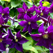 Clematis Flowers Art Print by Corey Ford