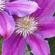 Clematis Flowers Art Print