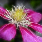 Clematis In Pink Art Print