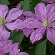 Clematis In The Rain Art Print