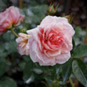 Climber Romantica Tea Rose, Digital Art Art Print
