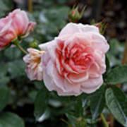 Climber Romantica Tea Rose Art Print
