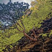 Climbing Tree Roots Art Print