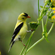 Clinging Goldfinch Art Print