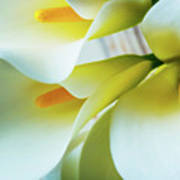 Close Up Calla Lilies Art Print