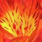 Close-up Of A Peruvian Lily Art Print