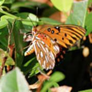 Close-up Of A Vibrant Gulf Fritilary Butterfly  Art Print