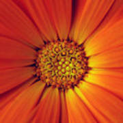 Close Up Of An Orange Daisy Art Print