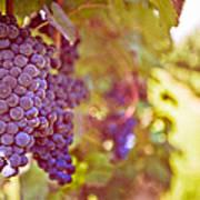 Close Up Of Grapes Art Print
