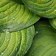 Close-up Of Raindrop On Green Leaves Art Print