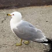 Close-up Of Seagull Art Print