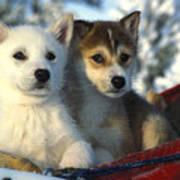 Close Up Of Siberian Husky Puppies Art Print by Nick Norman