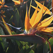 Close Up Photo Of A Bee On A Bird Of Paradise Flower  Art Print