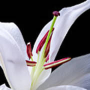 Close-up Photograph Of A White Oriental  Lily Art Print