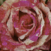 Close Up Pink Red Rose Art Print