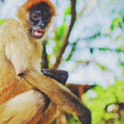 Close-up Portrait Of A Nicaraguan Spider Monkey Sitting And Looking At The Camera Art Print
