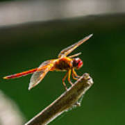 Close Up Red Dragonfly Art Print