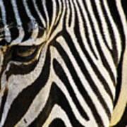 Close Up Zebra Art Print