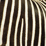 Close View Of A Zebras Stripes Art Print by Stacy Gold