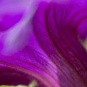 Close View Of Purple Petunia Art Print